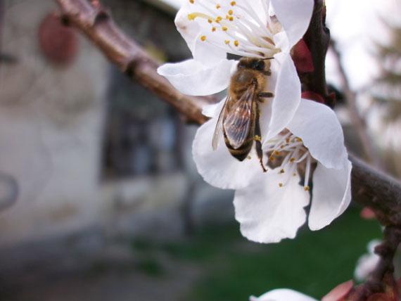 Kirschblüte im April