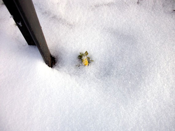 Winterlinge im Januar