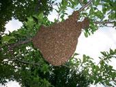 Bienenschwarm im Juni
