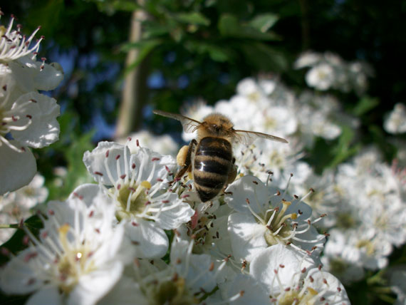 Biene im Feuerdorn
